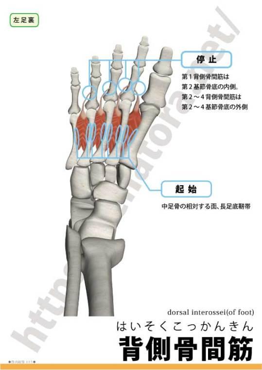 足の背側骨間筋の起始停止