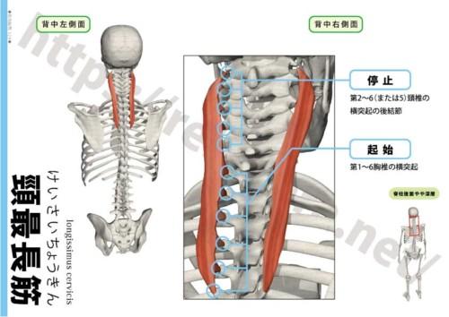 頸最長筋の起始停止