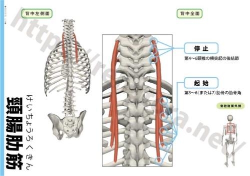 頸腸肋筋の起始停止