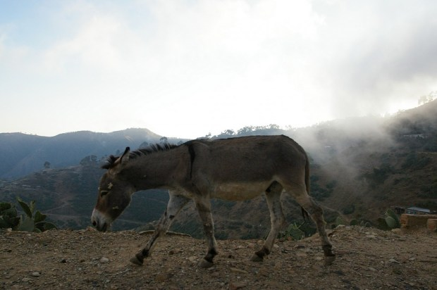 Asmara Mountain Donkey