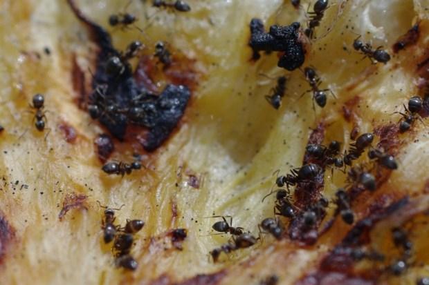 Ameisen auf verbranntem Pfannkuchen II