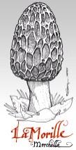 Morille - morchella
