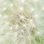 The Life Cycle of the Dandelion