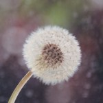 The Dandelion and the Truth of Love