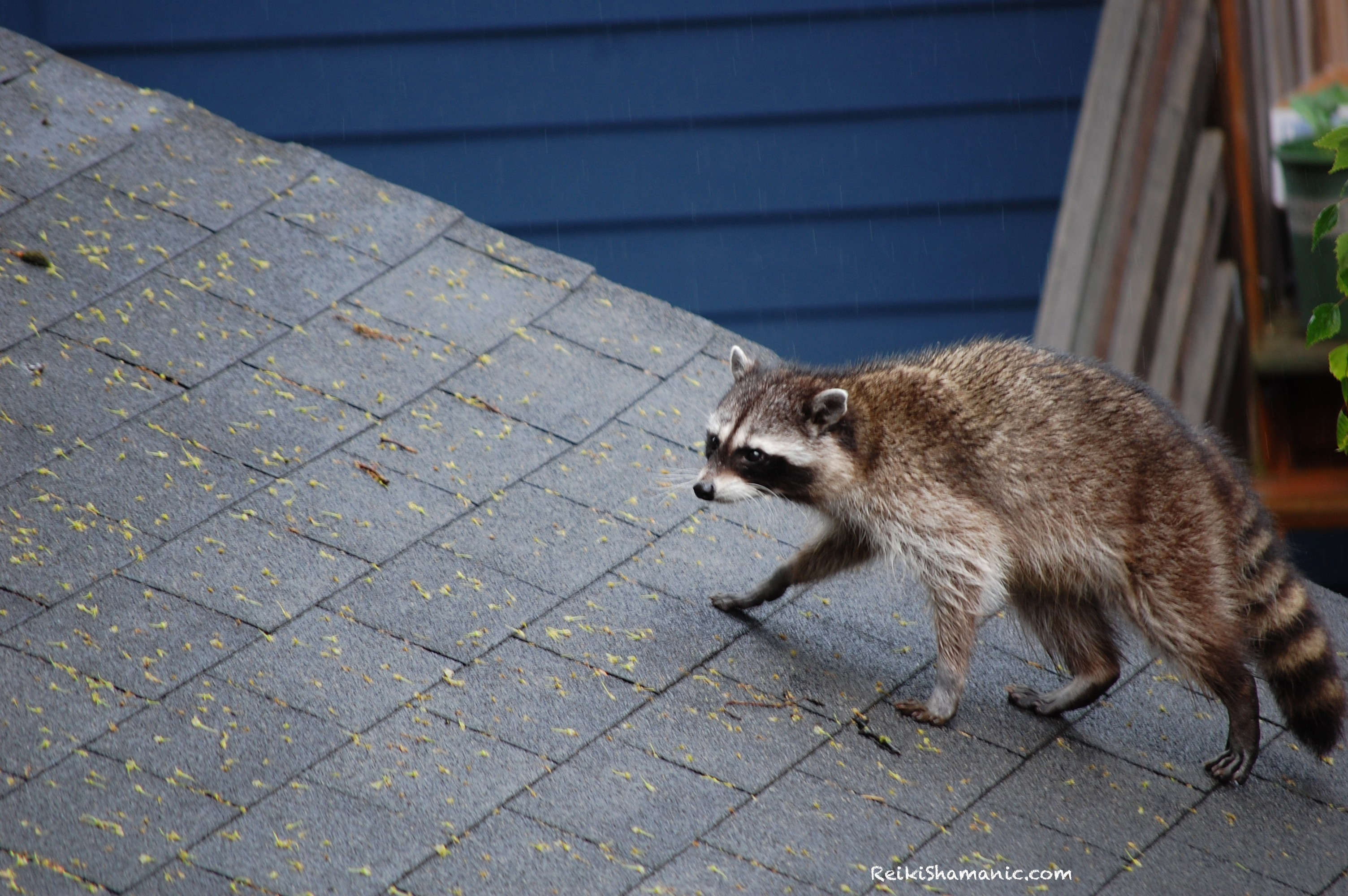 Raccoon And The Great Squirrel Bank Robbery