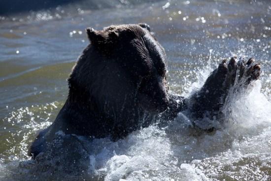 Grizzly Bear, Earthfire Institute, Photo Andrew Hinton, ©Rose De Dan www.reikishamanic.com