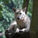 Animal Ambassador Alpha Wolf Doba at Woodland Park Zoo ©Rose De Dan 2013