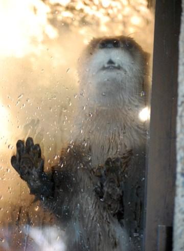 River Otter Greeting, ©2014 Rose De Dan, www.reikishamanic.com