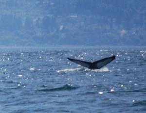 Humpback Whale Dive, ©Rose De Dan www.reikishamani.com
