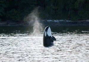 Audio Whale Teachers #2: The Orcas