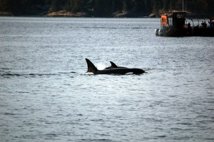 Shamanic Connection with Mother Orca and Baby, ©Rose De Dan www.reikishamanic.com