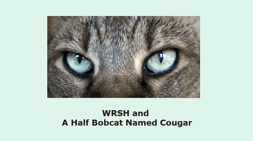 Two Paws Up For Video A Half Bobcat Named Cougar
