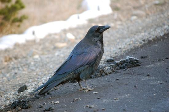 Raven Toll Collector in Yellowstone, ©Rose De Dan www.reikishamanic.com