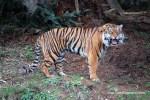 Sumatran Tiger Roar, ©Rose De Dan www.ReikiShamanic.com