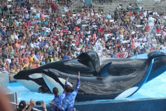 Orcas Tilikum (L) and Malia take a bow, Photo: ©Claudine Moyer-Records, www.ReikiShamanic.com