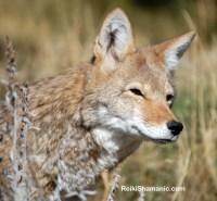 Coyote Faerytale, A Walk on the Wild Side 2016 at Earthfire Institute, ©Rose De Dan www.ReikiShamanic.com