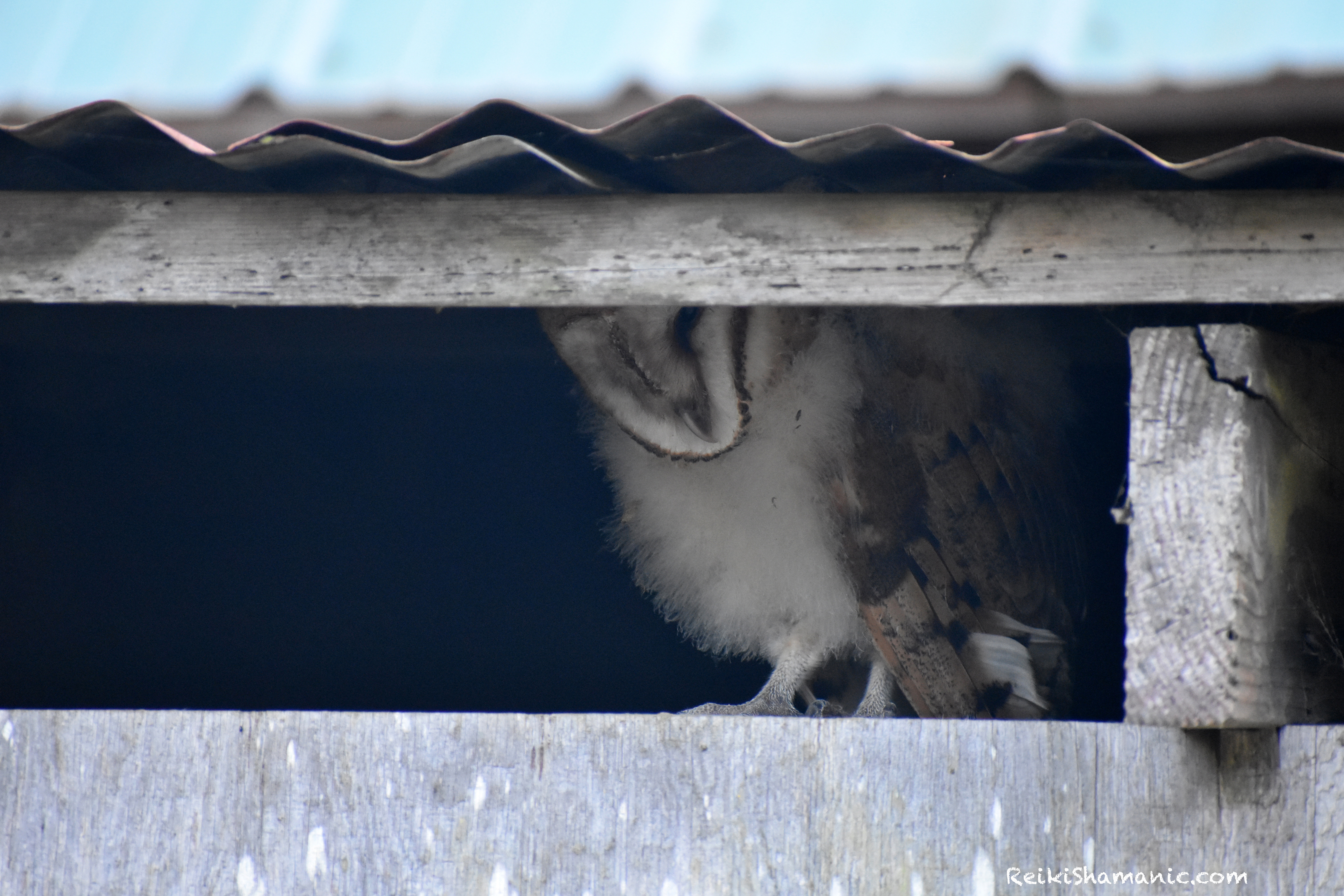 Baby Barn Owl Greets Us At A Walk On The Wild Side