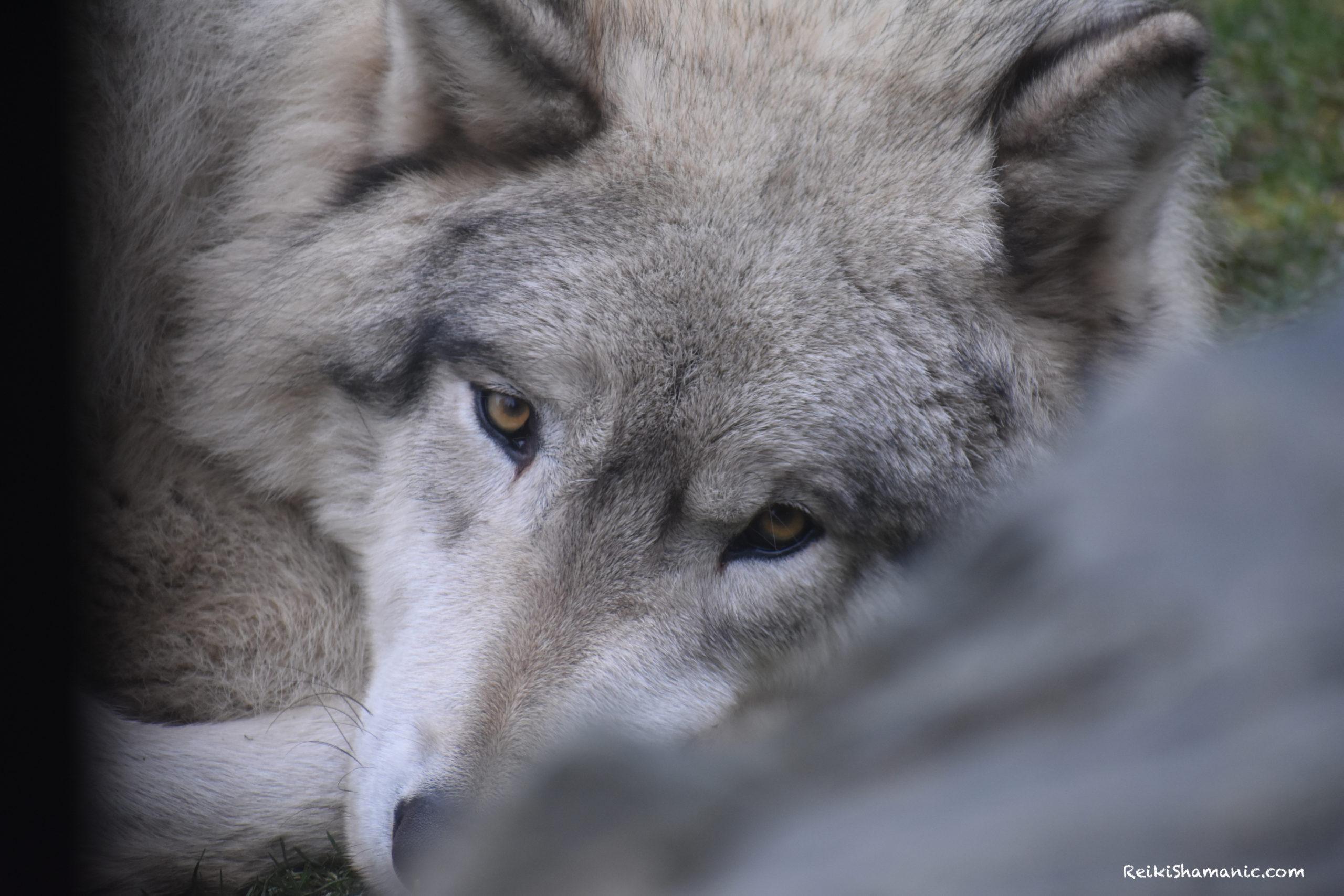 New Wolf Eyes ReikiShamanic Puzzle