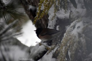 Hidden Junco, ©Rose e Dan, www.ReikiShamanic.com
