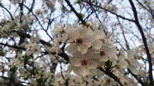 Almendro en Flor en la Quinta de los Molinos