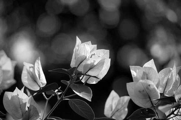 Flor Cor de Rosa PB