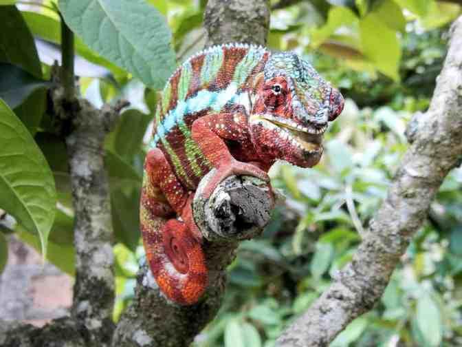Madagascar Exotic Reserve, Kameleon