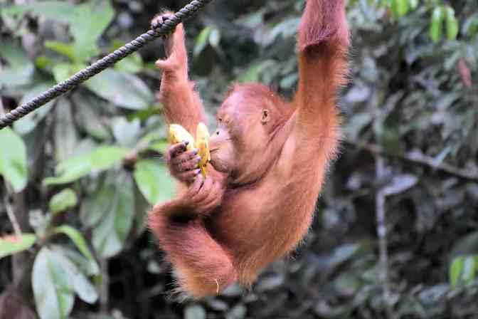 Orang-oetan - Semenggoh Wildlife Rehabilitation Center