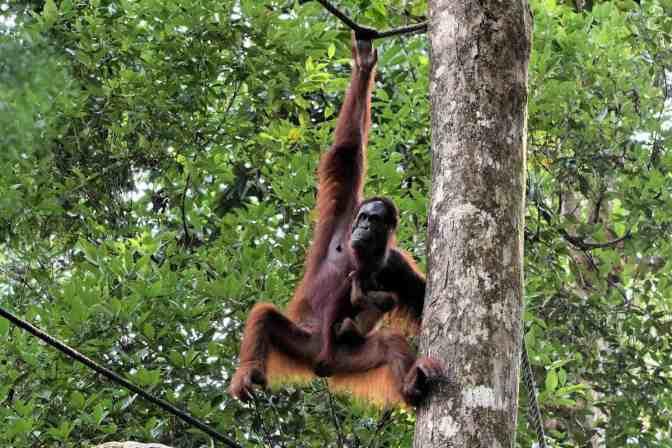 Orang-oetang met pasgeboren baby