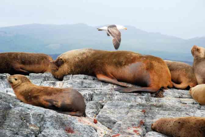 Zeeleeuwen, Ushuaia, Boottocht over Beagle kanaal
