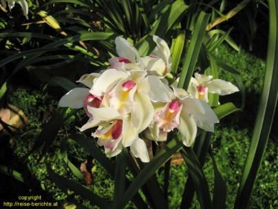 pyin oo lwin orchid