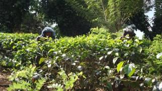 Virgin White Tea Plantation