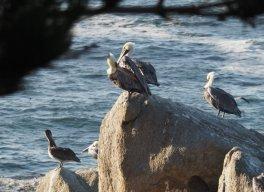 Pelikane in Pacific Grove