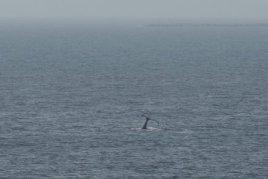 Wal beobachtet Pismo Beach