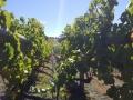Coal Valley - Vineyard