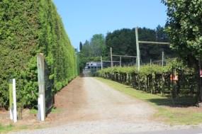 Kiwi Plantage