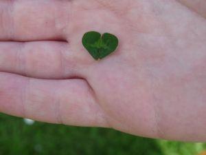Hier keine drei Blätter, aber auch als Herz schön: grüner Klee