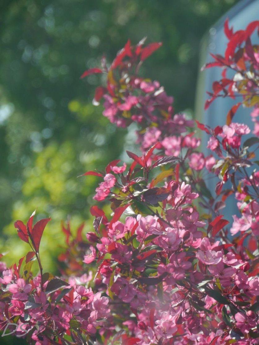 Rote Blätter, rosa Blüten