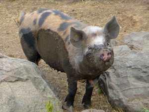Ferkelchen hieß Michels Schwein - alte Schweinerassen werden hier gezüchtet