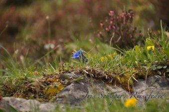 und viele weitere Alpenblumen auf.