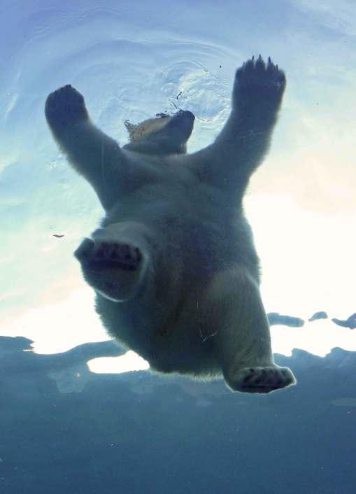 Eisbärentanz - Darf ich bitten?
