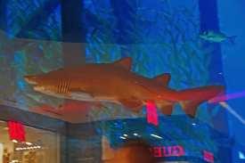 Bizzarr: Hai schwimmt vor Gucci-Laden in der Dubai Mall