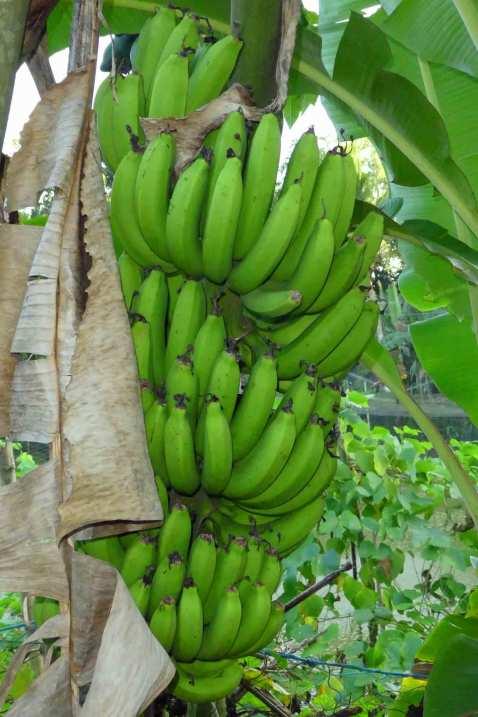 Fast wie im Paradies wachsen die Bananen auf dem gelände des Basis Village Resorts