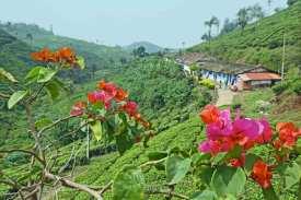 Teeplantage in den Kardamombergen