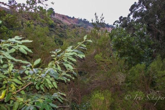 Besenheide auf Madeira