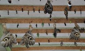 Puppen Schlüpfende Schmetterlinge