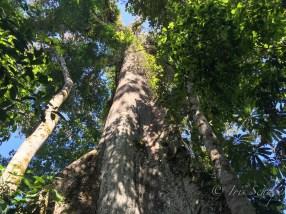 Ceibo Kapokbaum