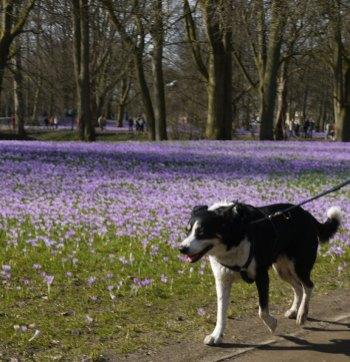 Hund vor Blütenwiese