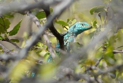 Aruba-ABC-Inseln-ABC-A-21-Nationalpark_Echse_1k4