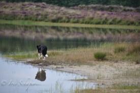 Hütehund im Uferbereich des Baggersees