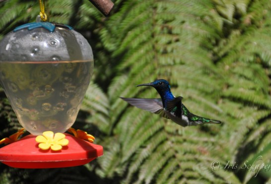 Kolibri1